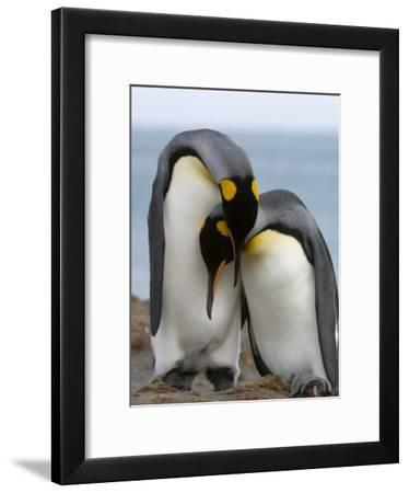 Pair of King Penguins Necking and Courting-Tom Murphy-Framed Photographic Print