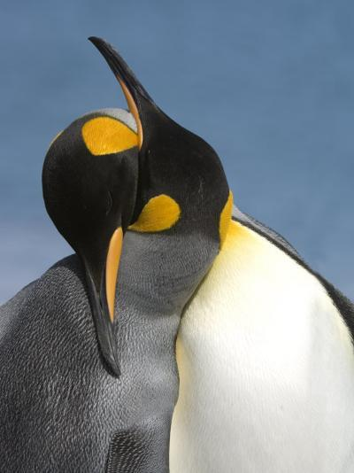 Pair of King Penguins Necking and Courting-Tom Murphy-Photographic Print