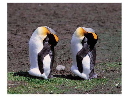 Pair Of King Penguins--Art Print
