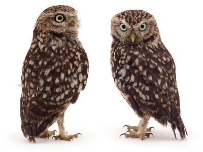 Pair of Little Owls-Jane Burton-Photographic Print