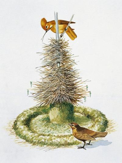Pair of Macgregor's Bowerbirds (Amblyornis Macgregoriae)--Giclee Print