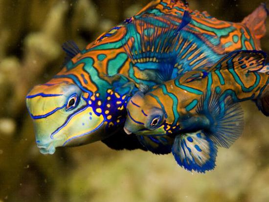 Pair of Mandarinfish Swim Close Together Prior to Spawning, Malapascua Island, Philippines-Tim Laman-Photographic Print
