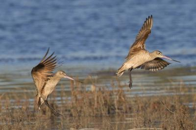 Pair of Marbled Godwits Landng-Hal Beral-Photographic Print