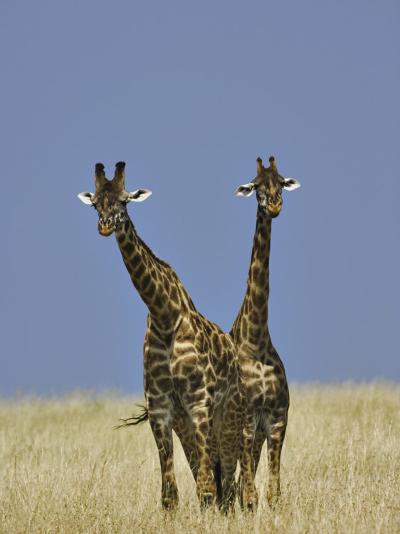 Pair of Masai Giraffes (Giraffa Camelopardalis Tippelskirchi), Masai Mara Game Reserve, Kenya-Adam Jones-Photographic Print