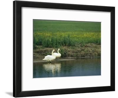 Pair of Mute Swans Standing at Waters Edge-Klaus Nigge-Framed Photographic Print