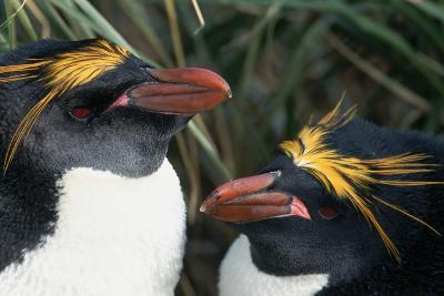 Pair of Nesting Macaroni Penguins-W^ Perry Conway-Photographic Print