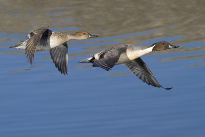 Pair of Northern Pintails in Flight-Hal Beral-Photographic Print