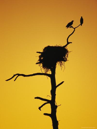 Pair of Ospreys Perched on a Limb above Their Nest at Twilight-Klaus Nigge-Photographic Print