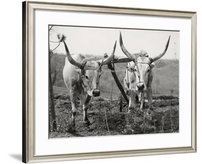 Pair of Oxen to the Yoke of a Plow-Luigi Leoni-Framed Photographic Print