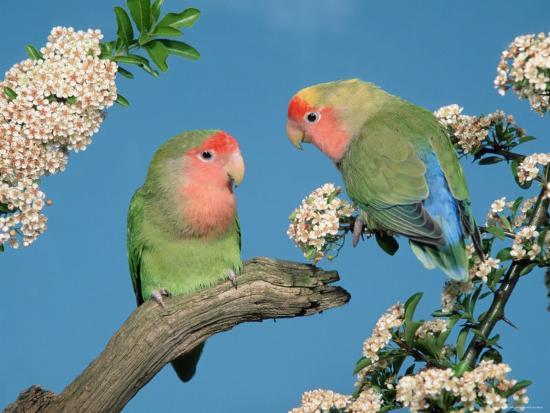 Pair of Peach-Faced Lovebirds-Petra Wegner-Photographic Print