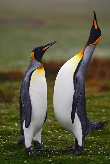 Pair of Penguins. Small and Big Bird. Male and Female of Penguin. King Penguin Couple Cuddling in W-Ondrej Prosicky-Photographic Print