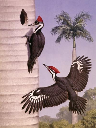 Pair of Pileated Woodpeckers Nest in a Dead Royal Palm Tree-Walter Weber-Photographic Print