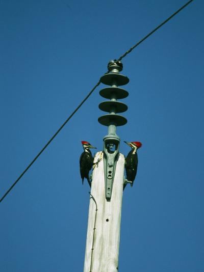 Pair of Pileated Woodpeckers on Floridas Gulf Coast-Klaus Nigge-Photographic Print