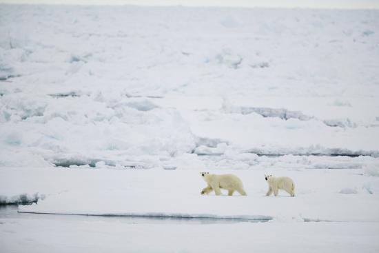 Pair of Polar Bears on Sea Ice-DLILLC-Photographic Print