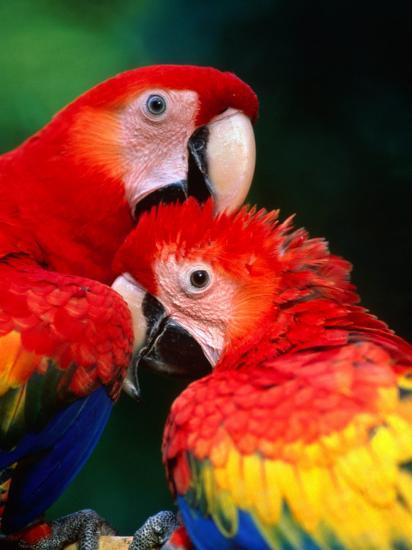 Pair of Preening Scarlett Macaw (Ara Macao), Puntarenas, Costa Rica-Ralph Lee Hopkins-Photographic Print