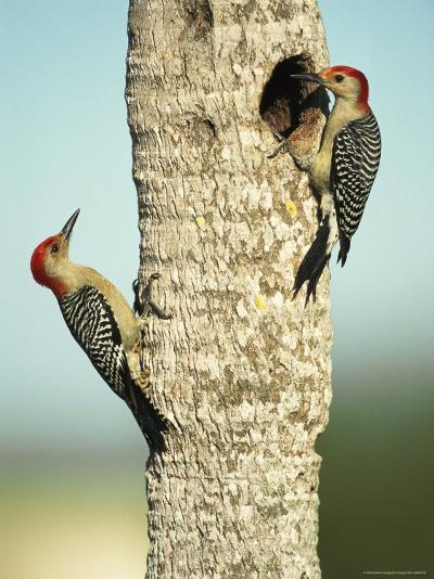 Pair of Red-Bellied Woodpeckers-Klaus Nigge-Photographic Print
