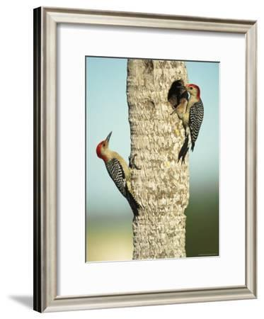 Pair of Red-Bellied Woodpeckers-Klaus Nigge-Framed Photographic Print