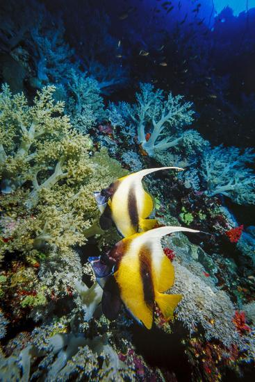 Pair of Red Sea Bannerfish at Daedalus Reef, Red Sea, Egypt-Ali Kabas-Photographic Print