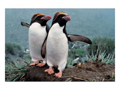 Pair Of Rock-Hopper Penguins--Art Print