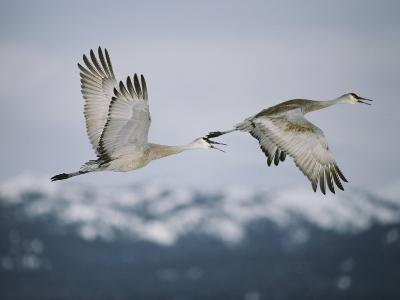Pair of Sandhill Cranes in Flight, with Wings in Opposite Positions, Island Park, Idaho-Michael S^ Quinton-Photographic Print