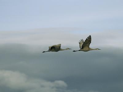 Pair of Sandhill Cranes in Flight-Marc Moritsch-Photographic Print