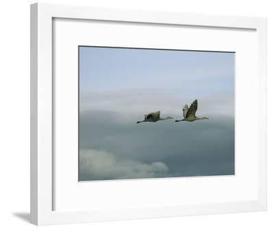 Pair of Sandhill Cranes in Flight-Marc Moritsch-Framed Photographic Print