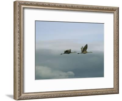 Pair of Sandhill Cranes in Flight-Marc Moritsch-Framed Photographic Print