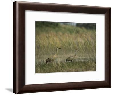Pair of Sandhill Cranes Stand Amid the Tall Grass of a Marsh-Klaus Nigge-Framed Photographic Print