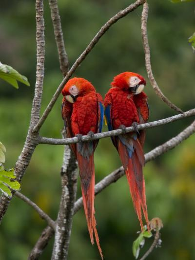 Pair of Scarlet Macaws (Ara Macao) Perched Side by Side on Branch-Roy Toft-Photographic Print
