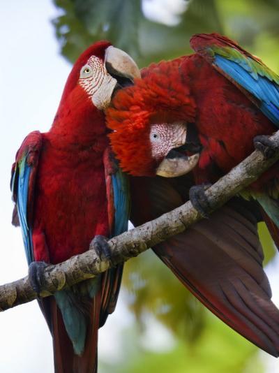Pair of Scarlet Macaws Perched on a Tree Limb, Grooming-Mattias Klum-Photographic Print