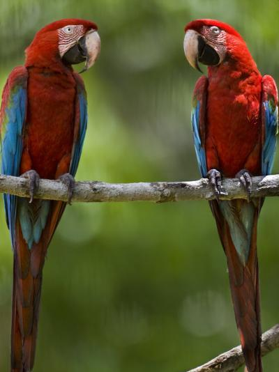 Pair of Scarlet Macaws Perched on a Tree Limb-Mattias Klum-Photographic Print