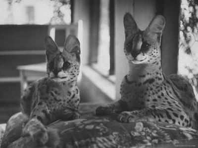 Pair of Servals, Pets of a Big Tobacco Farm Owner-James Burke-Photographic Print