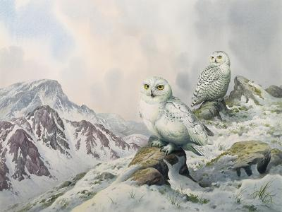 Pair of Snowy Owls in the Snowy Mountains, Australia-Carl Donner-Giclee Print