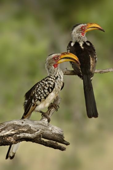 Pair of Southern Yellowbilled Hornbill's; Tockus Leucomelas; South Africa-Johan Swanepoel-Photographic Print