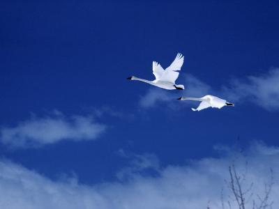 Pair of Trumpeter Swans (Cygnus Cygnus Buccinator) in Flight Against a Blue Sky, Usa-Jeff Foott-Photographic Print