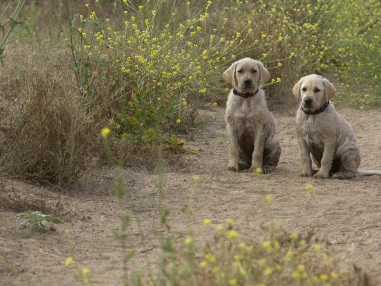 Pair Of Wet And Dirty Labrador Puppies On A Flower Lined Trail