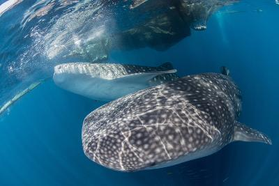Pair of Whale Sharks Barrelling their Way Through Near the Surface-Stocktrek Images-Photographic Print