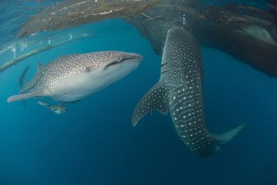 Pair of Whale Sharks Swimming around Near the Surface under Fishing Nets-Stocktrek Images-Photographic Print