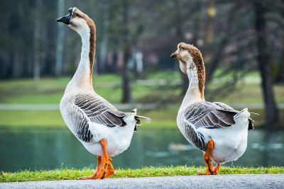 Pair of White Chinese Geese in A Park-zlikovec-Photographic Print