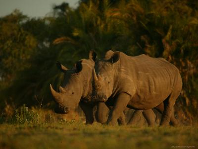 Pair of White Rhinoceroses Strolling at Twilight-Beverly Joubert-Photographic Print