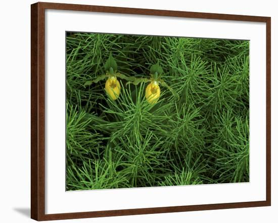 Pair of Yellow Lady's Slipper Orchids Amid Equisetum in Springtime, Upper Peninsula, Michigan, USA-Mark Carlson-Framed Photographic Print
