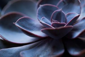 Succulent Plant in Close-up by Paivi Vikstrom