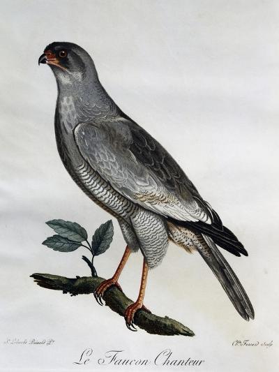 Pale Chanting-Goshawk (Melierax Canorus)--Giclee Print