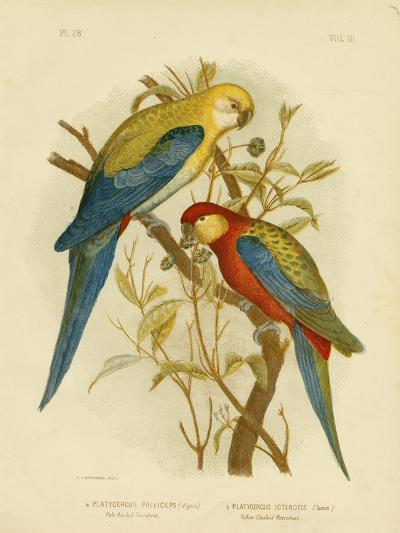 Pale-Headed Parakeet or Pale-Headed Rosella, 1891-Gracius Broinowski-Giclee Print