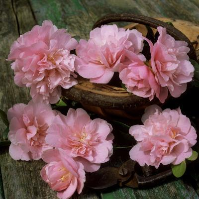 Pale Pink Camellia Flowers with Small Garden Trug and Secateurs on Rustic Table-James Guilliam-Photographic Print