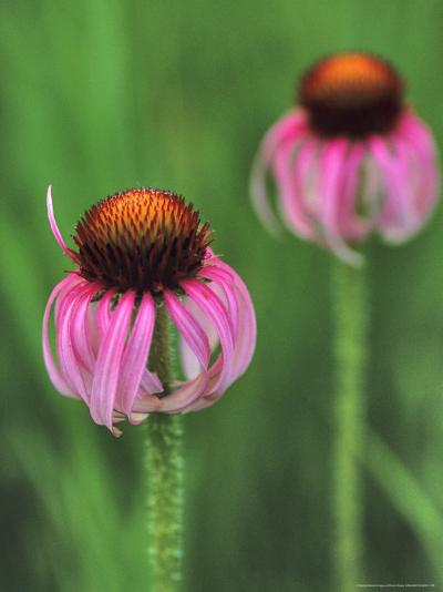 Pale Purple Coneflower-Chuck Haney-Photographic Print