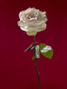 Pale rose on deep red background