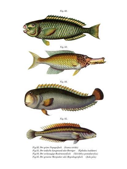 Palecheek Parrotfish--Giclee Print