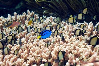 Palette Surgeonfish Over Coral-Georgette Douwma-Photographic Print