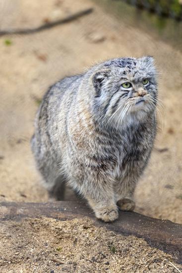 Pallas Cat-Charlie Harding-Photographic Print